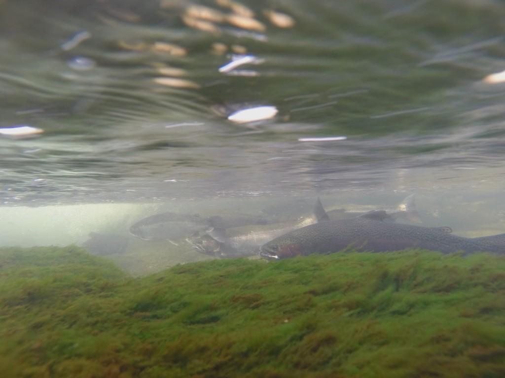 Underwater Steelehead